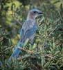 • Location - Cruickshank Sanctuary<br /> • Scrub Jay with deformed beak