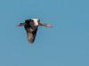 • Location -  Viera Wetlands<br /> • Black-Bellied Whistling Duck in flight