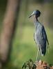 • Location -  Viera Wetlands<br /> • A little Blue Heron
