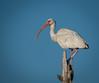 • Location -  Viera Wetlands<br /> • White Ibis