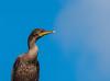 • Location - Stick Marsh<br /> • Double Crested Cormorant
