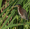 • Location - Viera Wetlands<br /> • Green Heron looking for something to eat