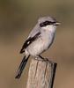 • Location - Viera Wetlands<br /> • Loggerhead Shrike