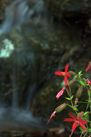 Some pretty red wildflowers growing by a forest waterfall