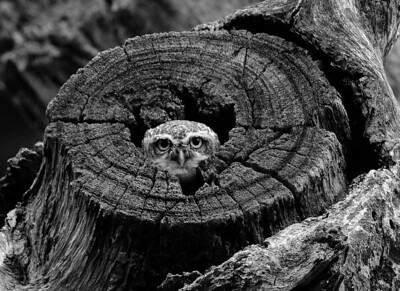 Black & White version of the Owlet.