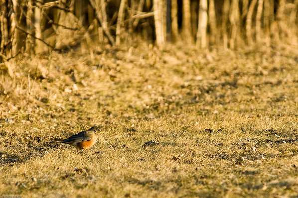 Supper buffet. American Robin.
