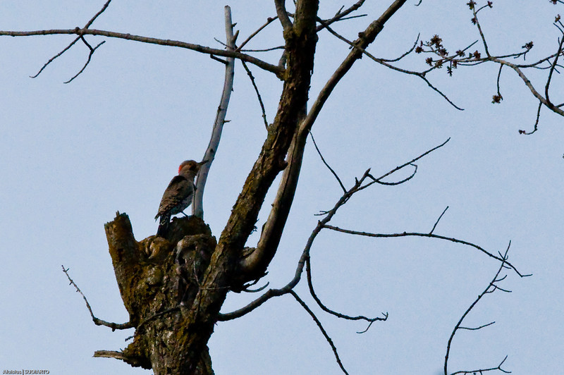 Male Yellow-shafted Flicker.  At first, I thought this was another Downy Woodpecker.