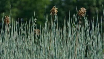 Standing Ovation Grass (1)