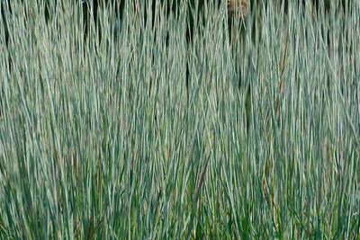 Standing Ovation Grass (2)