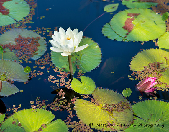 589  Water Lilly LR