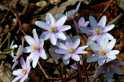 Sharp-leaved hepatica  (Hepatica acutiloba)  Early Spring in Southern Vermont