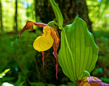 Flower Lady's Slipper 05 19 11_2462