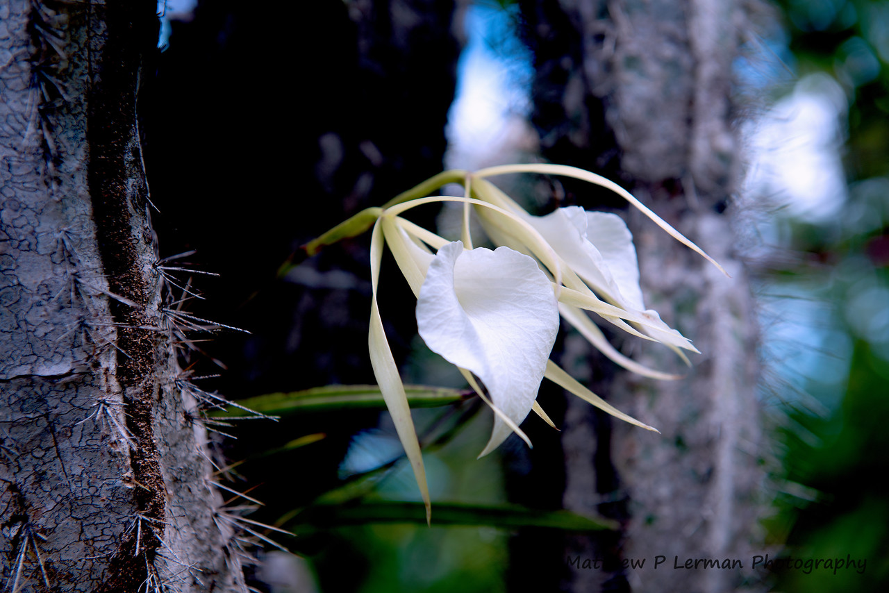 374 Orchid White Curacao 0690