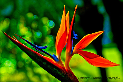 Flower Bird of Paradise Kauai_7875