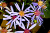 Autumn Asters    #988