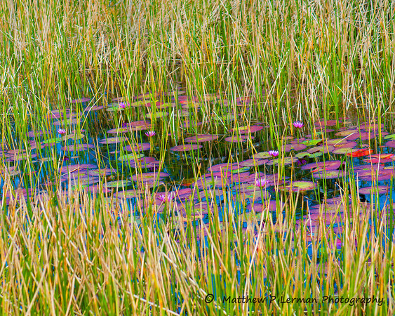 590 Water Lilly Wetlands LR