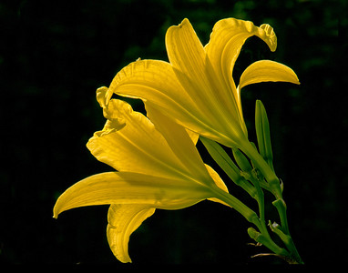 209  Yellow Day Lily