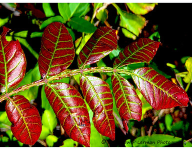 Winged Sumac Oct 197