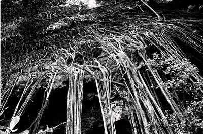 Ficus roots growing over a rock cliff in Kauai, HI