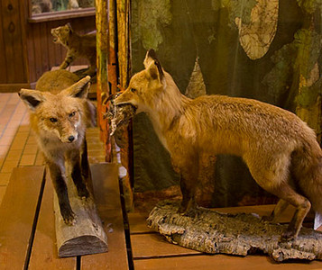 Red Fox Display in Nature Center
