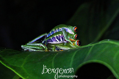 3 Red Eyed Tree Frogs in Costa Rica