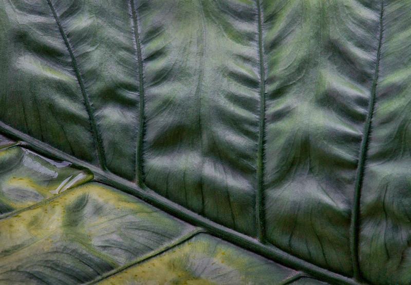 Big Leaf Macro