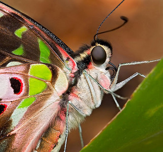 Graphium agamemnon, also called Tailed Jay
