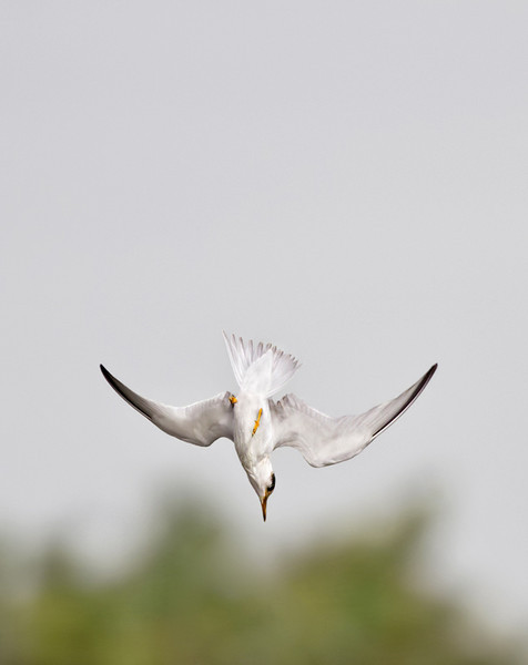Forster's Tern - Fast Dive Down