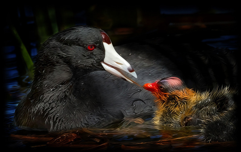 Mamma coot & chick