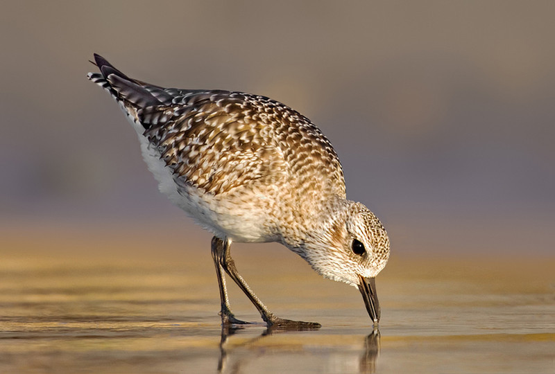 Black Bellied Plover feeding