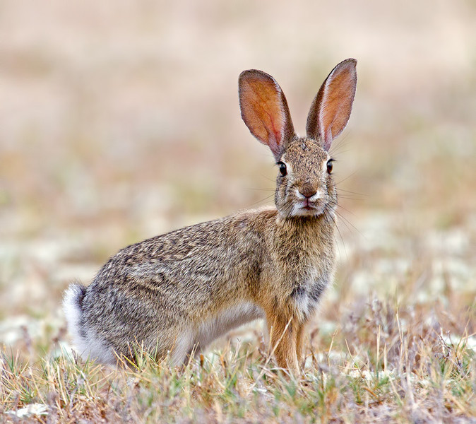 I'm All Ears...  Wild Rabbit, Southern CA