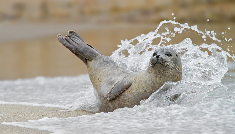 Seal Splash