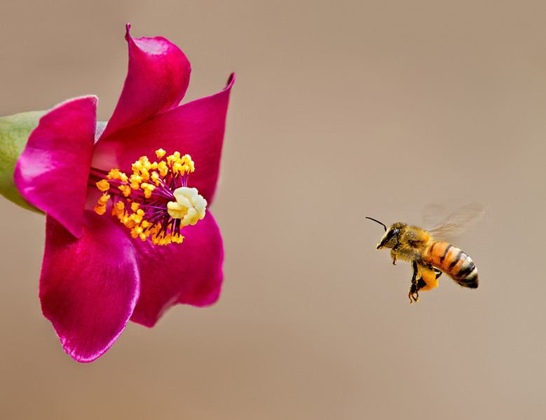 Bee flying towards a Cow-Itch Flower