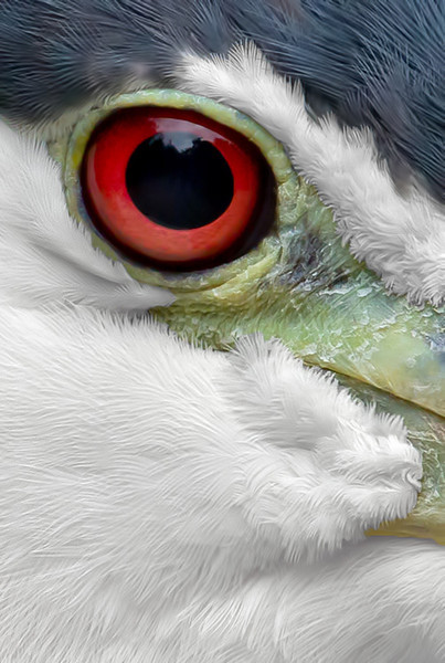 Extreme close-up of Black-crowned Night Heron