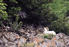 Dall sheep with curls in Alaska
