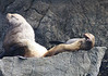 Stellar sea lion family in Resurrection Bay Alaska