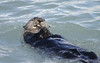 Sea otter in Seward Alaska