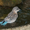 Bluebird juvenile bathing