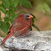 Cardinal molting
