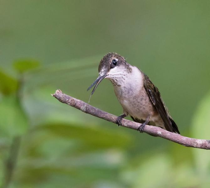 Ruby-throated Hummingbird juvenile male