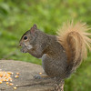Squirrel with tan tail