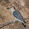 Red-bellied Woodpecker female