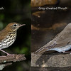 Swainson's and Gray-cheeked Thrushes