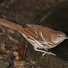 Brown Tharsher