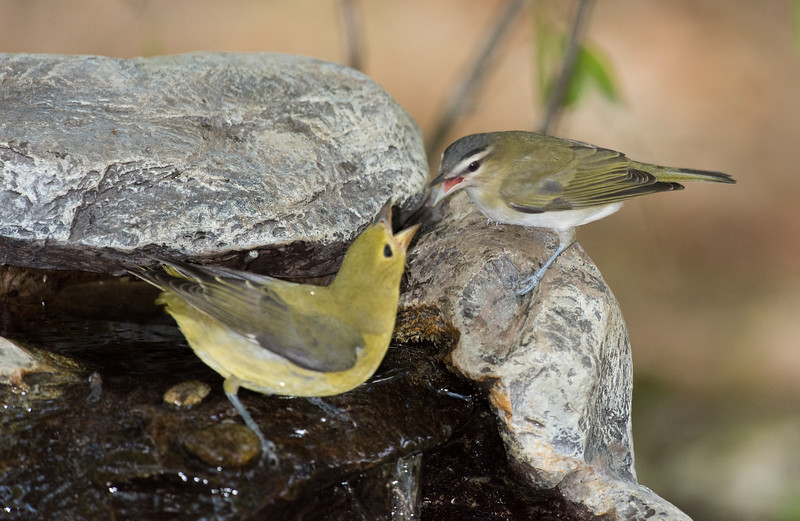 Scarlet Tanager and Red-eyed  Vireo