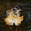 Robin juvenile bathing