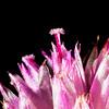 Cock's Comb flower part
