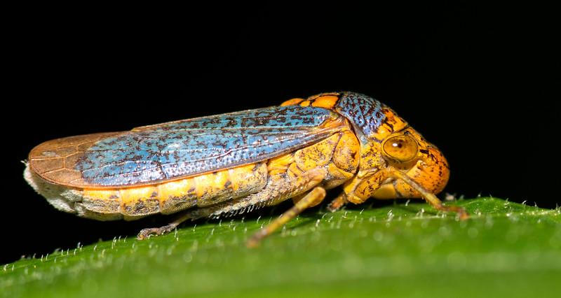 Sharpshooter Bug