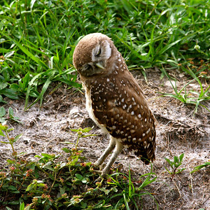 Piccolo Park's Burrowing Owls