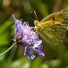 Clouded Yellow - Olympus E3, Zuiko 12-60mm with 2x teleconvertor, 1/320 sec at f10, ISO 500